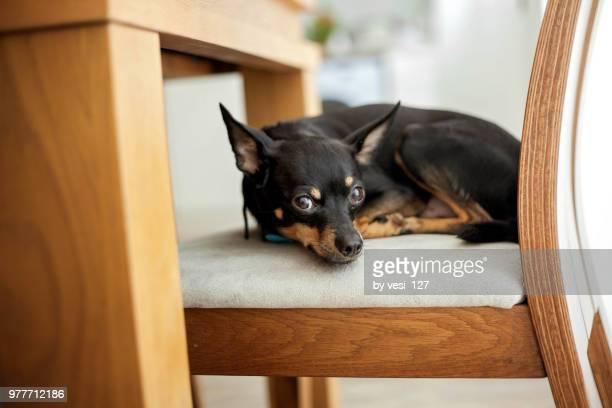 cute black miniature pinscher dog lying on dining room chair - pinscher nano foto e immagini stock