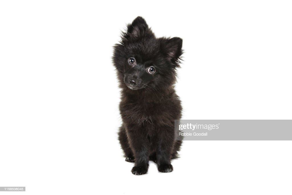 Cute Black Pomeranian Puppy Looking At The Camera On A White Backdrop High Res Stock Photo Getty Images