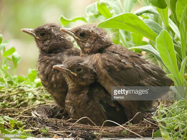 cute blackbird babies - 13 days old