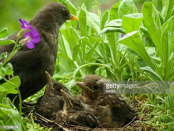 cute Blackbird babies and mother