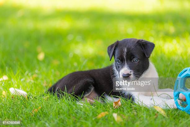 cute border collie puppy playing and training on natural background - australian shepherd puppies stock pictures, royalty-free photos & images