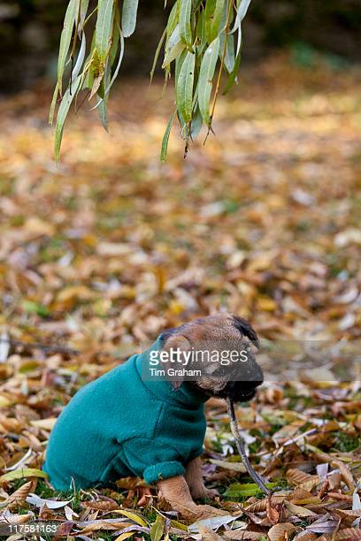 Cute Border terrier puppy 10 weeks old in fleece coat during wintry weather chews a twig in a garden