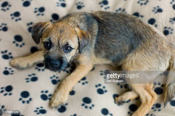 Cute Border Terrier puppy 12 weeks old on fleece pawprint dog bed