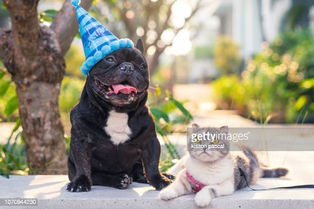 cute brindle french bulldog with birthday hat and his scottish fold cat friend in a park during day - happy birthday cat stock photos and pictures