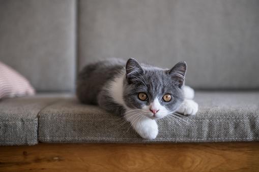 Cute British short Hairy cat 1055045568