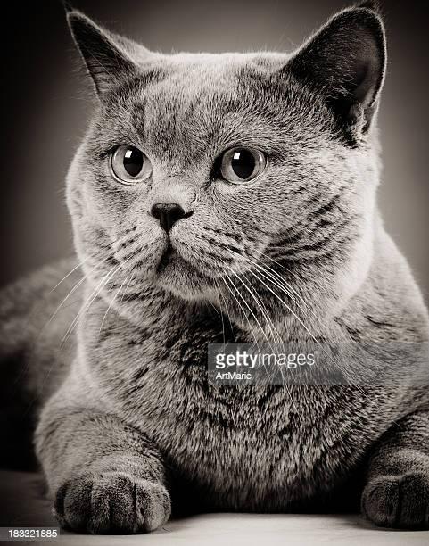 Cute British shorthair cat