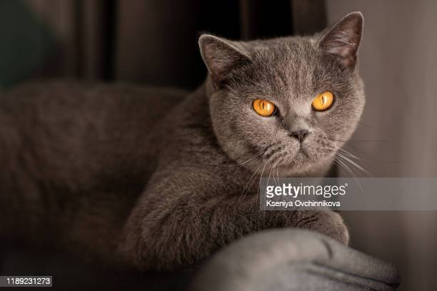 cute british short-hair cat with copper eyes - british shorthair cat stock pictures, royalty-free photos & images