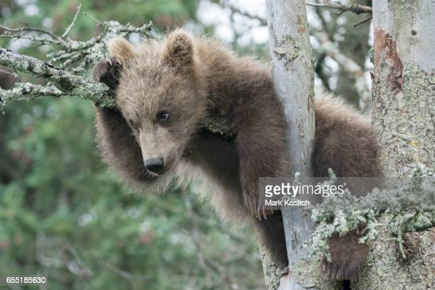 Cute Brown Bear Cub in Tree
