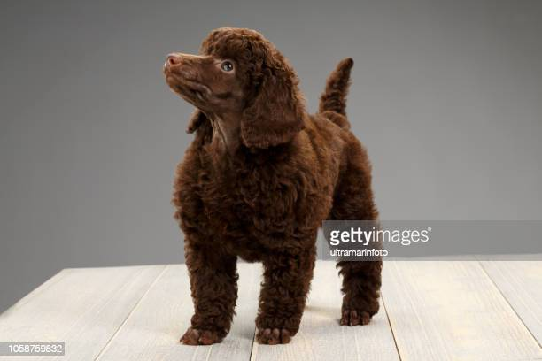 cute brown miniature poodle puppy sitting on wooden floor on gray background - miniature poodle stock photos and pictures