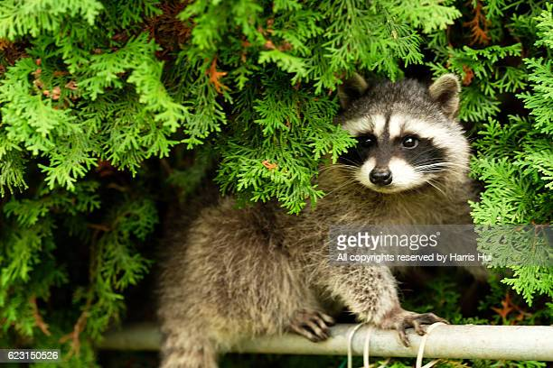 cute burglar (young raccoon) - pest stock photos and pictures