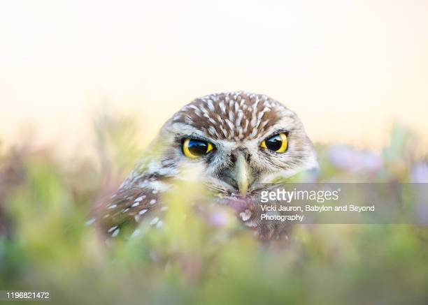 cute burrowing owl looking at camera at cape coral, florida - gulf coast states fotografías e imágenes de stock