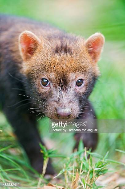 cute bush dog baby looking at me - bush dog stock pictures, royalty-free photos & images
