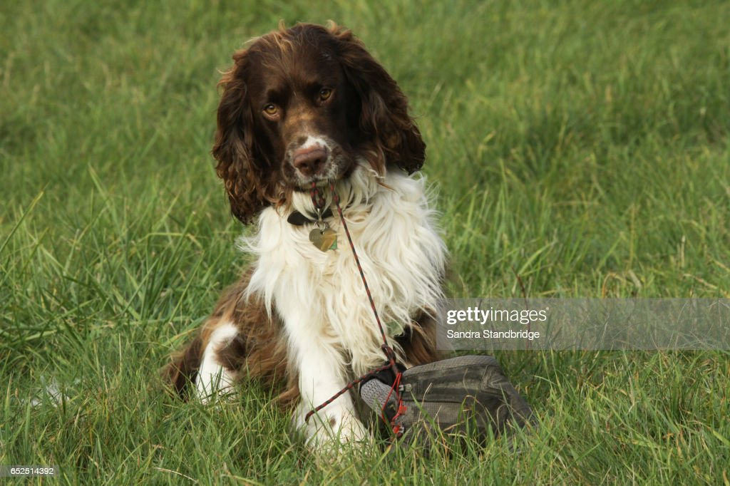 A Cute But Very Naughty English Springer Spaniel Puppy Playing With A Lace From A Boot That He Has In His Teeth And Is Is Pulling On The Rest Of The Boot
