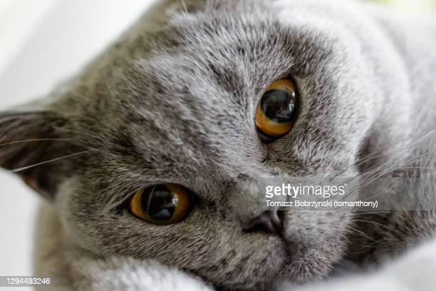 a cute cat face - british shorthair cat stock pictures, royalty-free photos & images