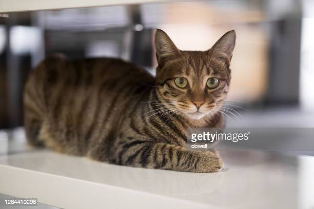 cute cat on table - tabby stock pictures, royalty-free photos & images