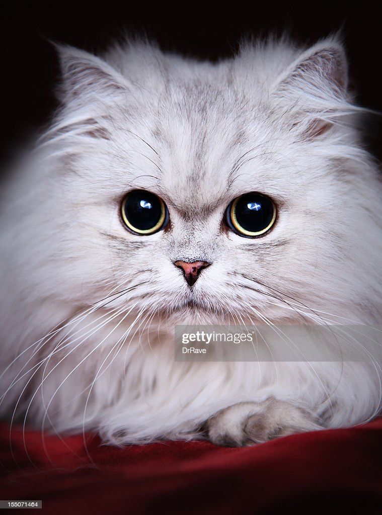 Cute Cat with big persuasive eyes : Stock Photo