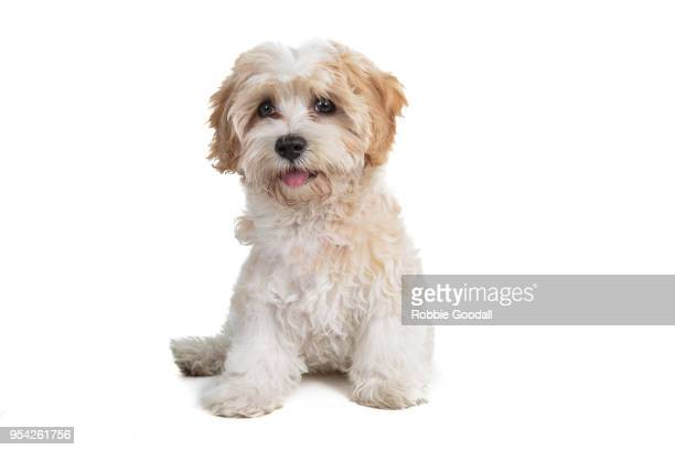 cute cavoodle puppy looking at the camera against a white background. - 一匹 ストックフォトと画像