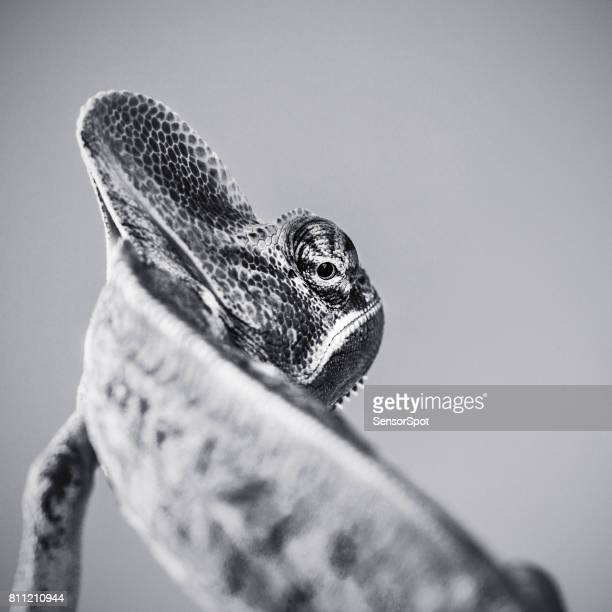 cute chameleon black and white portrait looking over shoulder - rettile foto e immagini stock