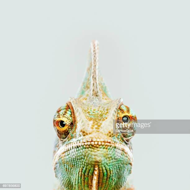 cute chameleon looking at camera - animal stock pictures, royalty-free photos & images