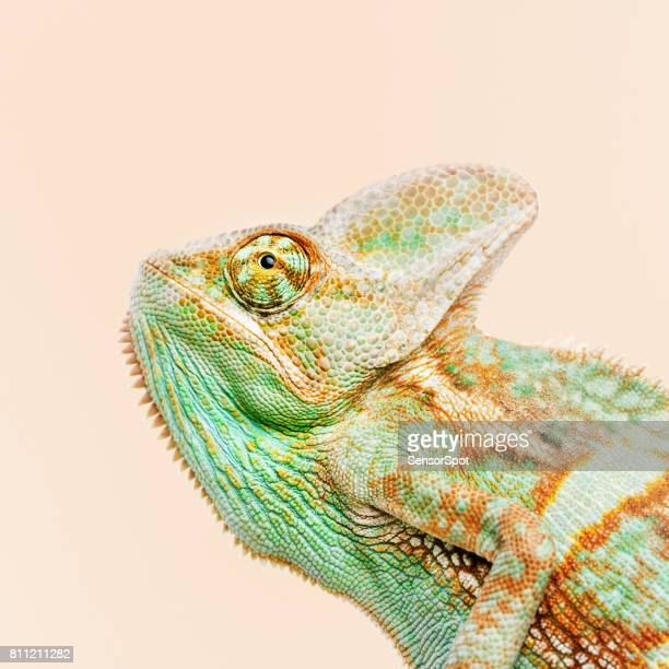 cute chameleon portrait looking away - iguana stock photos and pictures