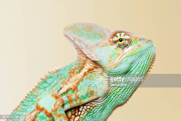 Cute chameleon profile portrait looking at camera