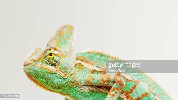cute chameleon profile portrait - chameleon stock photos and pictures