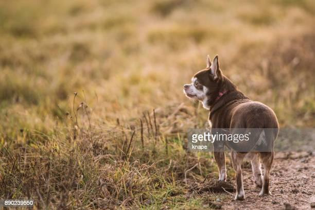 chihuahua bonito ao ar livre na natureza, em uma caminhada - chihuahua raça pura - fotografias e filmes do acervo