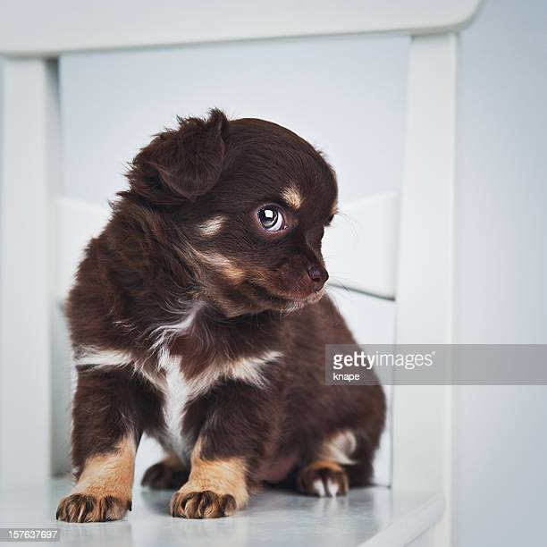 cute chihuahua puppy - long haired chihuahua stock photos and pictures