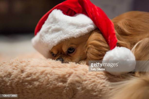 cute chihuahua puppy sleeping in santa hat - long haired chihuahua stock photos and pictures