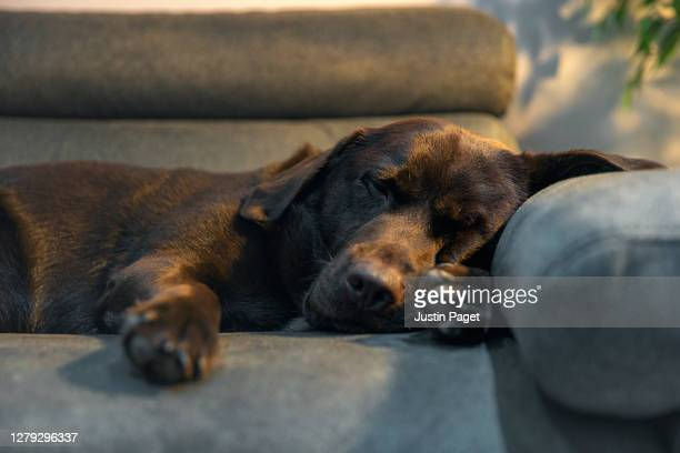 cute chocolate labrador resting on the sofa - tranquility stock pictures, royalty-free photos & images
