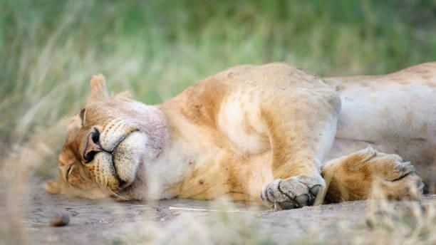Cute Close Up Portrait of Sleeping Lion in Grass at Maasai Mara, Kenya