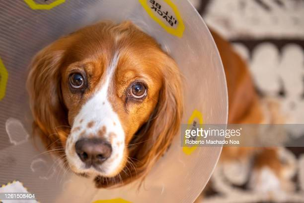 cute cocker spaniel dog with plastic dog-cone after being neutered - castration stock pictures, royalty-free photos & images