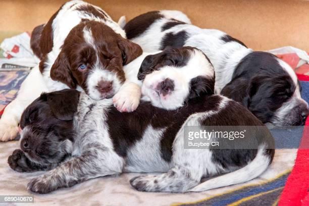 Cute Cocker Spaniel Puppies asleep together in their whelping box