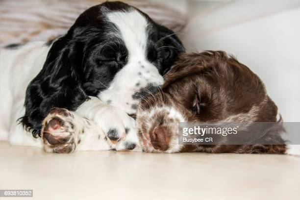 Cute Cocker Spaniel Puppies asleep together