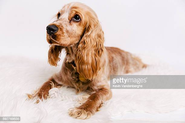 cute cocker spaniel puppy looking at camera - cocker spaniel stock photos and pictures