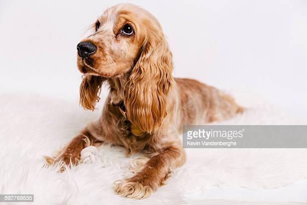 cute cocker spaniel puppy looking at camera - cocker spaniel foto e immagini stock