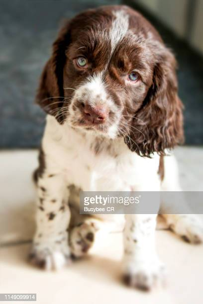 cute cocker spaniel puppy - cocker spaniel stock pictures, royalty-free photos & images