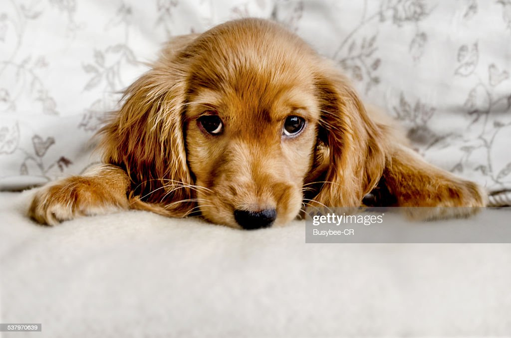 A Cute Cocker Spaniel Portrait, lying down and looking at the camera