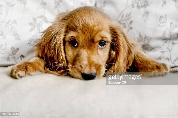 cute cocker spaniel puppy - cocker spaniel stock photos and pictures