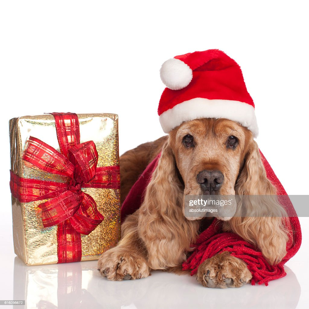 Cute cockerspaniel with christmas gift : Stock Photo