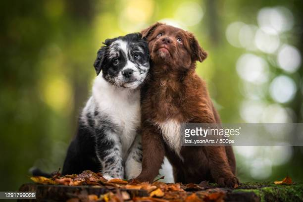 cute collie and australian shepherd puppies sitting together in forest - australian shepherd puppies stock pictures, royalty-free photos & images