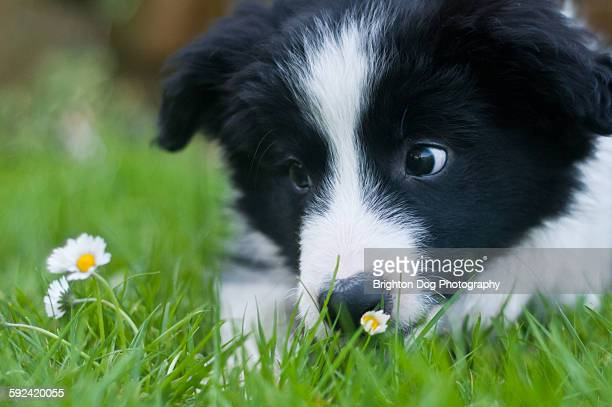 A cute collie puppy stares at a daisy