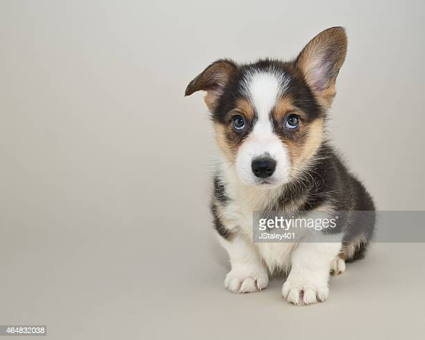 Sweet Corgi puppy sitting looking up with cute puppy eyes, with copy space.