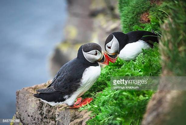 cute couple of atlantic puffins in latrabjarg cliffs, iceland. - westfjords iceland stock photos and pictures