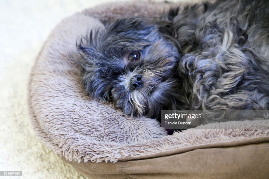Cute cozy Shih Tzu : Stock Photo