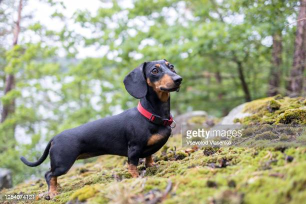 cute dachshund in the forest - dachshund stock pictures, royalty-free photos & images