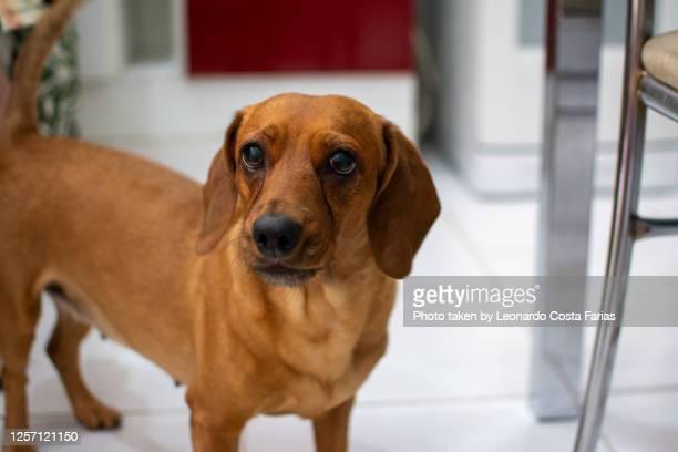 cute dachshund - leonardo costa farias - fotografias e filmes do acervo