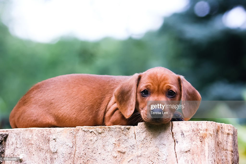 Cute Dachshund Puppy High Res Stock Photo Getty Images