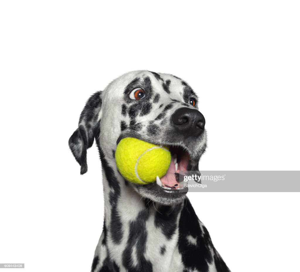 Cute dalmatian dog holding a ball in the mouth. Isolated on white : Stock Photo