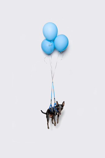 Cute dark dog floating with balloons - gettyimageskorea